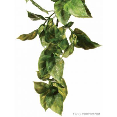 Plante Ampallo Medium